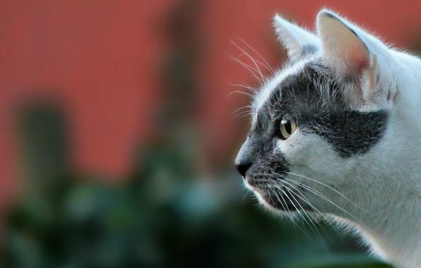 Picture cat, look, background, portrait, muzzle, profile