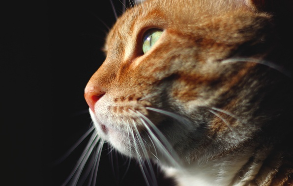 Picture cat, look, animal, red, muzzle