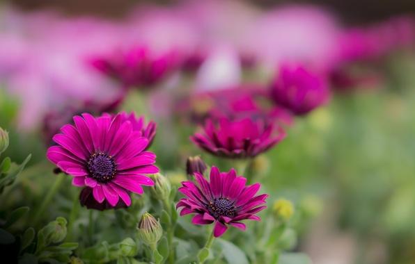 Picture macro, flowers, nature, focus, petals, raspberry, Daisy