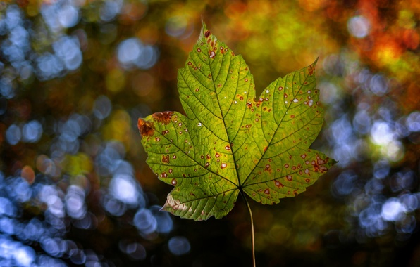 Picture autumn, nature, sheet, bokeh