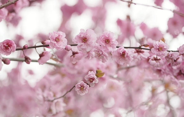 Picture flowers, branches, spring, pink, flowering