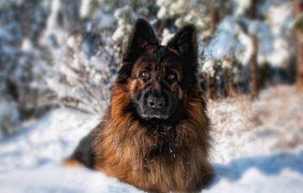 Picture forest, look, dog, German shepherd