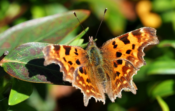 Picture leaves, nature, butterfly, wings, moth