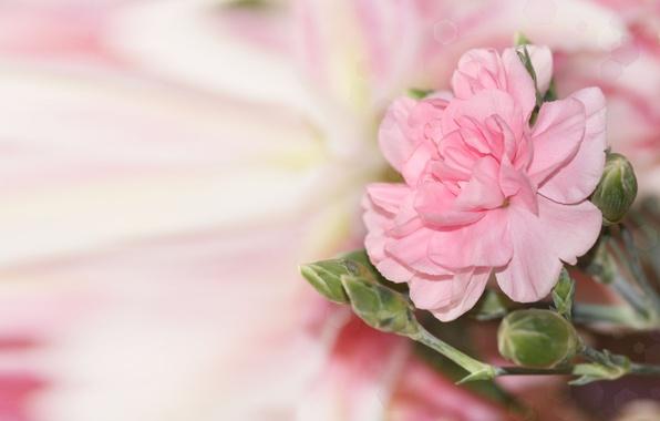 Picture flower, glare, background, pink, blur, buds