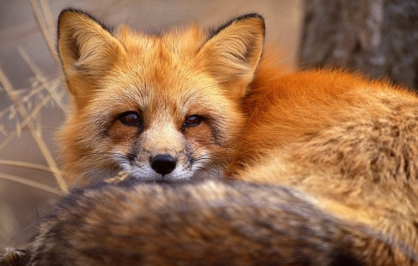 Picture eyes, face, portrait, red, Fox, animals
