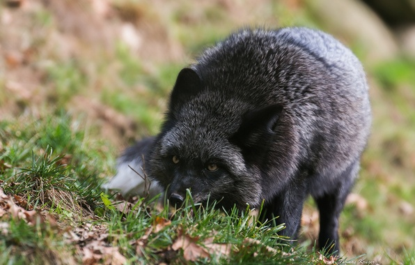 Picture Fox, Black-brown Fox, Fox