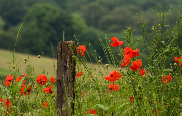 Picture field, summer, grass, macro, flowers, heat, stems, Maki, petals, red, green, nature, poppies