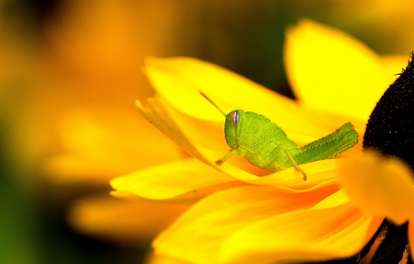 Picture flower, yellow, green, grasshopper, rudbeckia