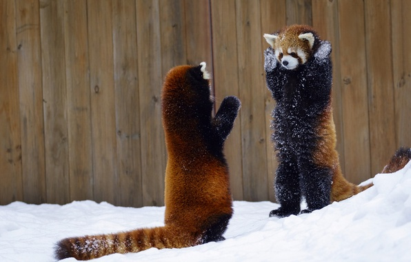 Picture snow, the fence, red Panda, hands up, two animals