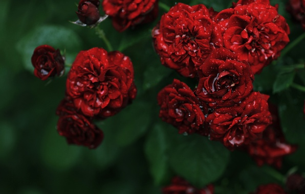 Picture water, drops, flowers, Rosa, Bush, roses, red, roses, small