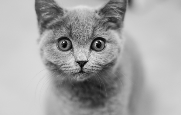 Picture look, muzzle, black and white, kitty, monochrome, eyes