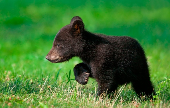Picture greens, bear, weed, walks, looking for mom.