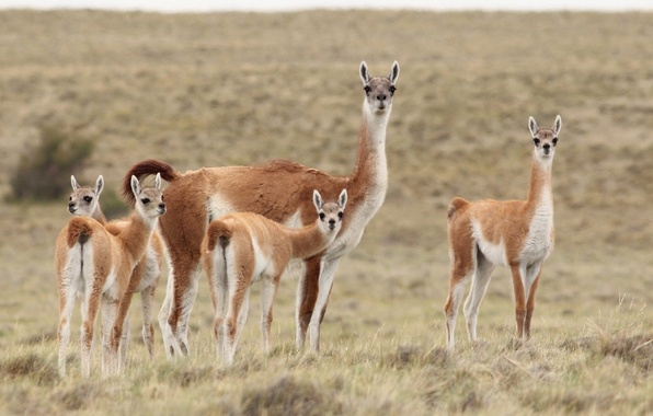 Picture the steppe, Lama, family, Guanaco