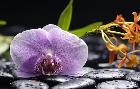Picture water, drops, flowers, tenderness, beauty, petals, orchids, lilac, Orchid, water, flowers, beauty, Phalaenopsis, drops, phalaenopsis, …