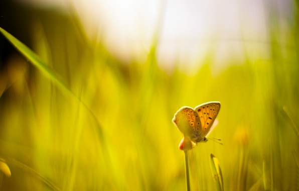 Picture greens, grass, macro, background, widescreen, Wallpaper, butterfly, blur, wallpaper, Sunny day, widescreen, butterfly, background, macro, …