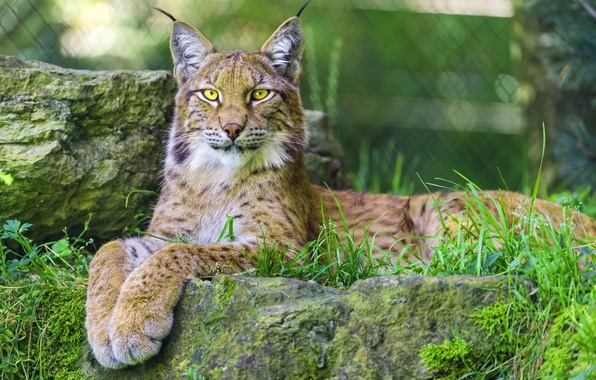Picture look, stay, predator, paws, lynx, wild cat