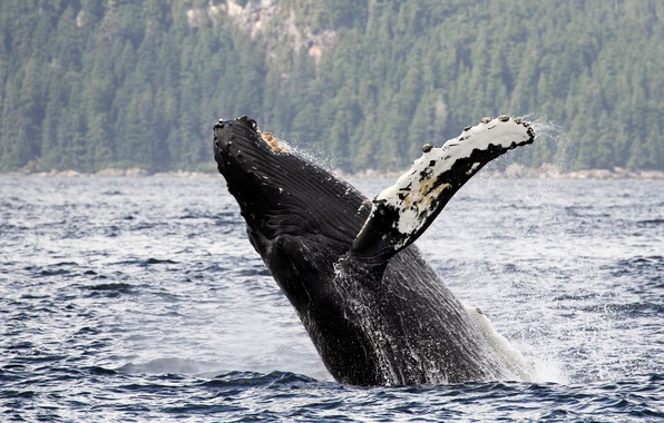 Picture water, Alaska, Alaska, long-armed whale, Gorbach, humpback whale, Chatham Strait, Chatham Strait
