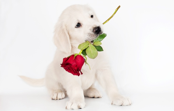 Picture photo, Rose, Dog, Puppy, Animals, Retriever