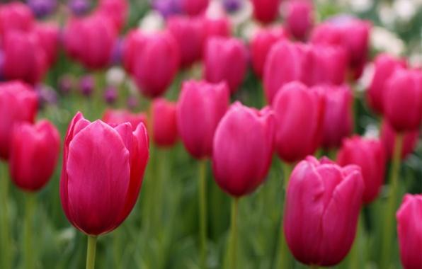 Picture field, focus, petals, blur, tulips, pink, field, Tulips