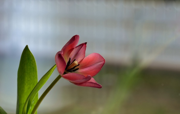 Picture flower, red, background, Tulip
