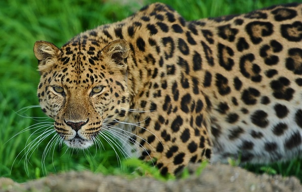 Picture face, leopard, is, leopard, looks