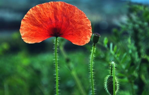 Picture field, flower, macro, red, one, blur, Mac, buds
