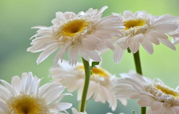 Picture white, petals, gerbera
