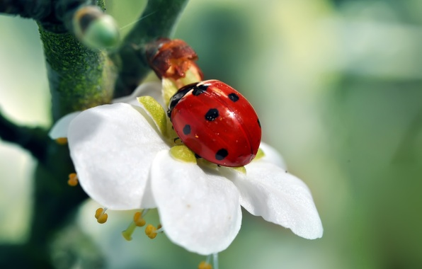 Picture white, flower, red, green, tree, ladybug, branch, insect