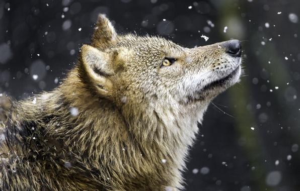 Picture snow, wolf, predator, profile