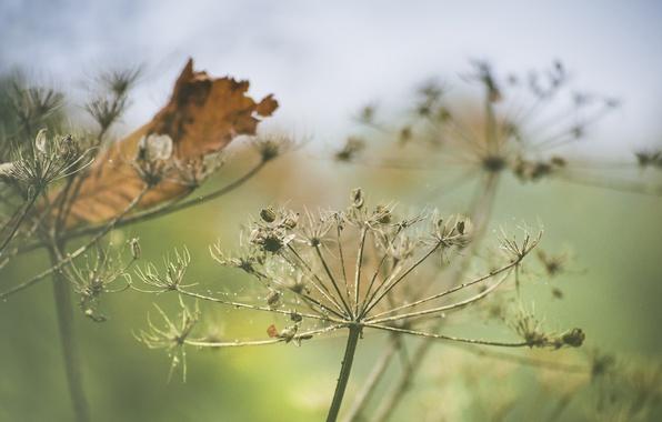 Picture autumn, leaf, decay, Queen Anne's lace, daucus carota