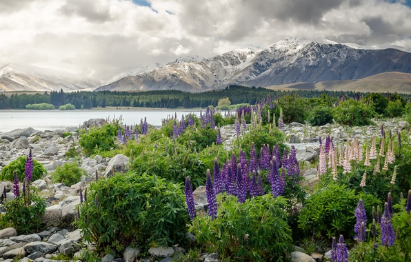 Picture flowers, mountains, New Zealand