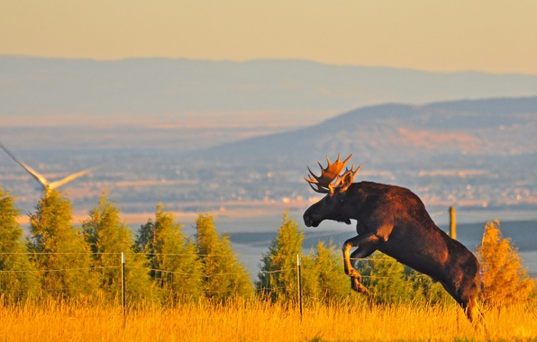 Picture landscape, jump, the fence, horns, moose