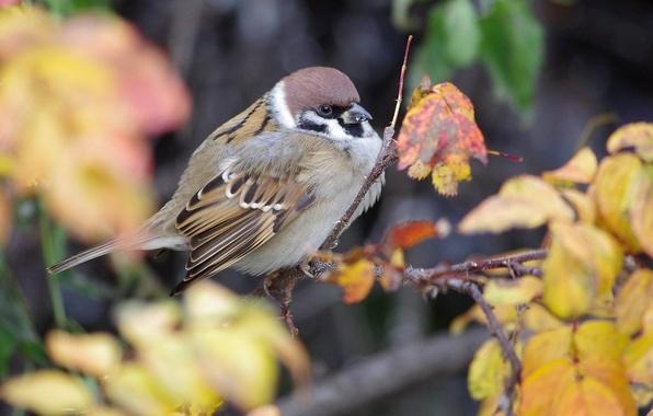 Picture autumn, nature, bird, foliage, branch, Sparrow