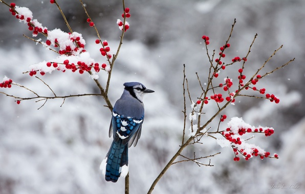 Picture winter, snow, branches, berries, bird, Jay