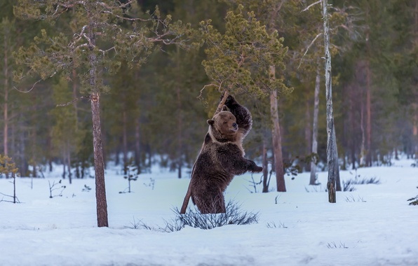 Picture snow, frame, bear, pine
