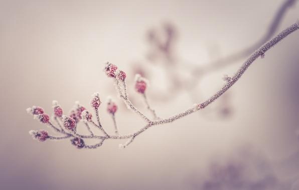 Picture winter, morning, berries, branch, frost, wild berries