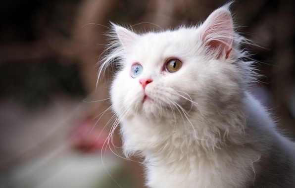 Picture cat, white, eyes, cat, look, fluffy