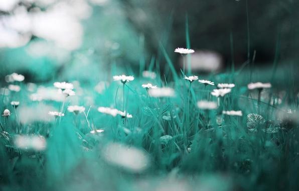 Picture grass, macro, chamomile, bokeh