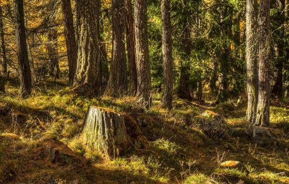 Picture forest, grass, trees, stump, Sunny, Iceland