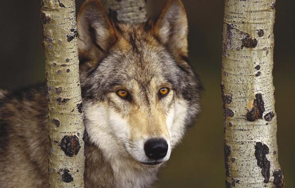 Picture forest, wolf, predator