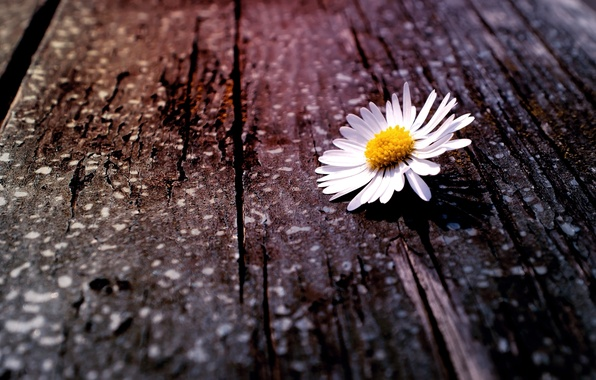 Picture white, flower, flowers, yellow, background, tree, widescreen, Wallpaper, Daisy, wallpaper, bark, widescreen, background, full screen, …