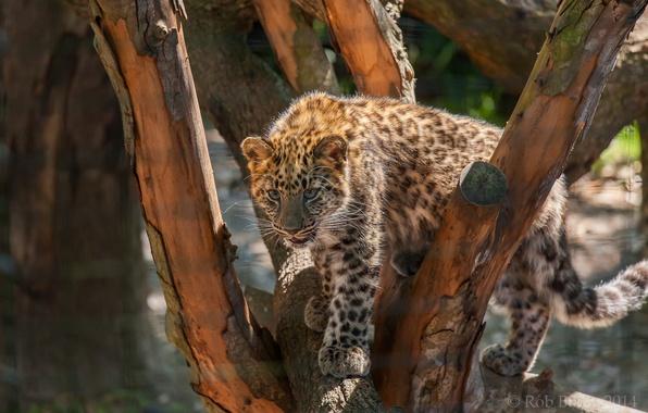Picture tree, predator, spot, leopard, cub, wild cat