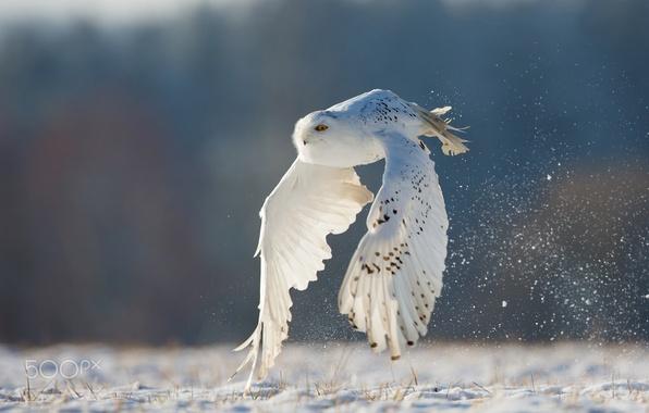 Picture winter, flight, owl, white, polar