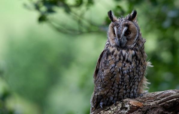 Picture bird, log, long-eared owl
