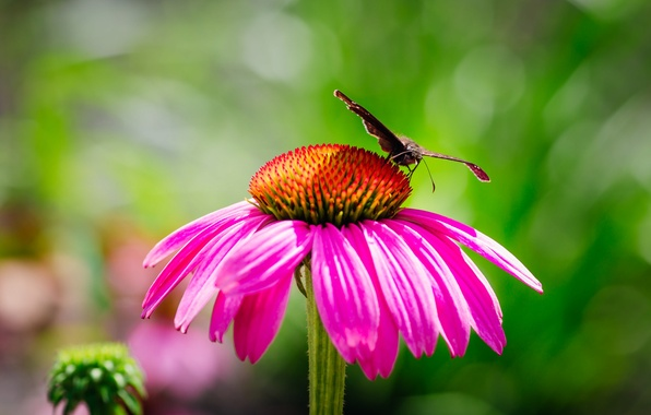 Picture flower, butterfly, petals, moth, Echinacea