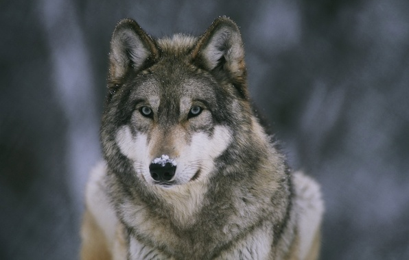 Picture snow, Wallpaper, wolf, predator, beast, forest, wallpapers, medic, nose