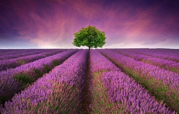 Picture landscape, nature, tree, flowering, landscape, nature, tree, flowering, lavender field, lavender field