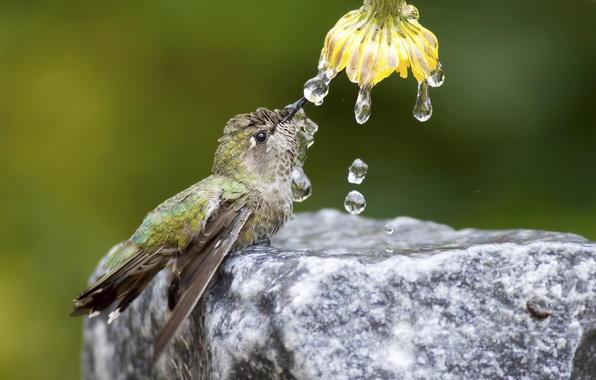Picture flower, water, drops, nature, bird, stone, Hummingbird
