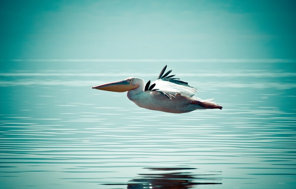 Picture BACKGROUND, WATER, WINGS, FLIGHT, BIRD, SURFACE, PELICAN