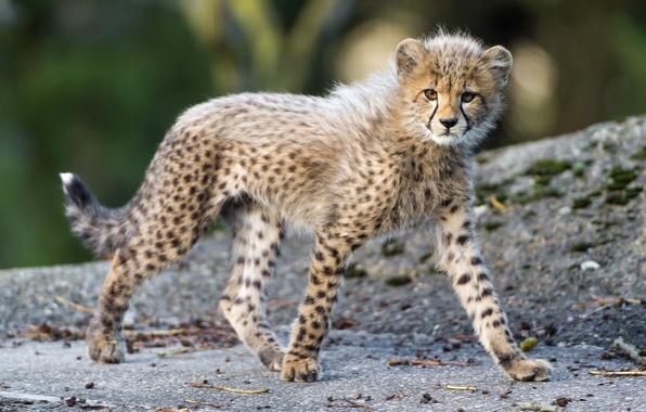 Picture predator, baby, spot, Cheetah, walk, cub, kitty, wild cat